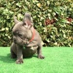 Polpettone French bulldog blue lilac