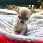 Chihuahua femmina B
