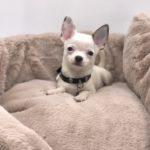 Chihuahua bianco & blue pelo corto
