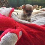 Chihuahua femmina A