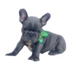 Maschio french bulldog blue