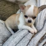 Hermes Cucciolo Chihuahua Maschio Teacup Pelo Corto