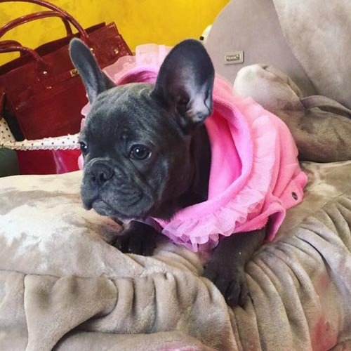 french bulldog roma